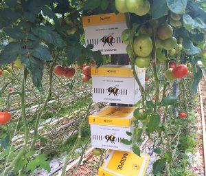 Hommels en tomaten
